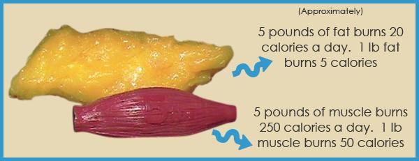 Fat Vs Muscle Burn